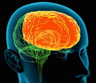 Frontal Lobes In The Brain, Artwork Art Print by Roger Harris