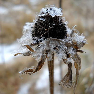 Photograph - Frost And Snow On Dead Daisy by Kent Lorentzen