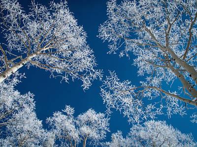 Frost-covered Aspen Trees Art Print by Karen Desjardin