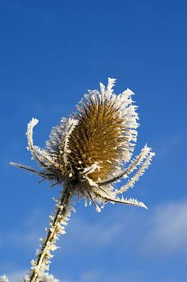Ice Spikes Photograph - Frost-covered Teasel (dipsacus Fullonum) by Duncan Shaw