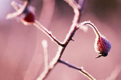 Valentines Day - Frost On Bushes by Natural Selection Craig Tuttle