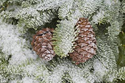 Pine Cones Photograph - Frost On Pine Cones by Craig Tuttle