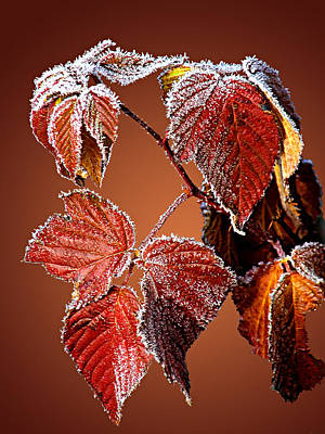 Art Print featuring the photograph Frosted Leaves by Judy  Johnson
