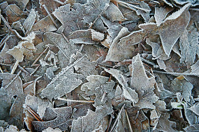 Wall Art - Photograph - Frosted Leaves by Ron Morecraft