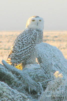 Photograph - Frosted Snowy Owl by Frank Townsley