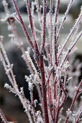 Art Print featuring the photograph Frosty Coral Maple by Mick Anderson