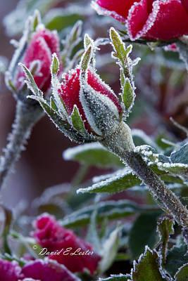 Photograph - Frosty Rose Bud by David Lester