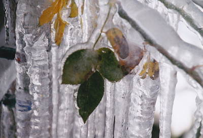 Photograph - Frozen Autumn Leaves by Barbara Plattenburg