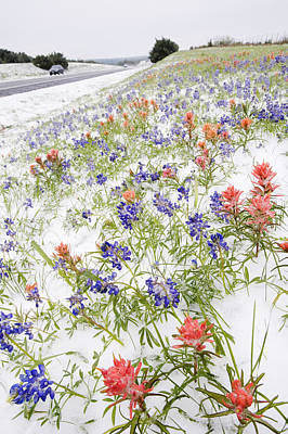 Frozen Flowers In Snow By Country Road, Texas Hill Country, Texas, Usa Art Print by Radius Images