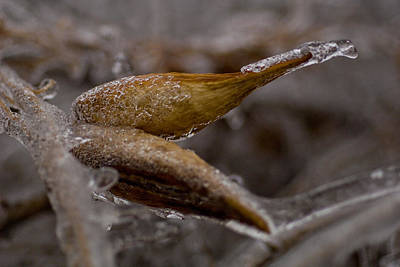 Photograph - Frozen Milkweed Seed Pods by Michael Flood
