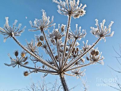 Daucus Carota Photograph - Frozen Plant by Heiko Koehrer-Wagner