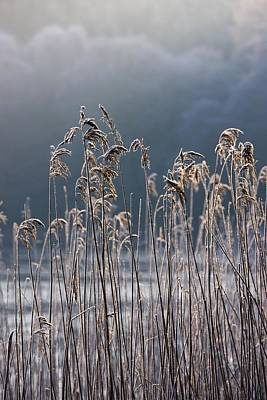 Colour Image Photograph - Frozen Reeds At The Shore Of A Lake by John Short