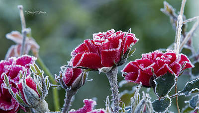Photograph - Frozen Roses by David Lester