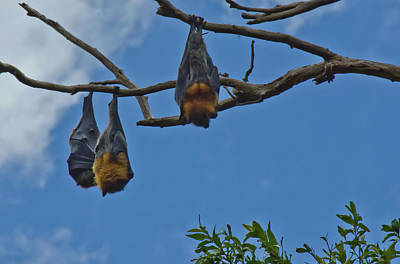 Photograph - Fruit Bats by Harry Strharsky