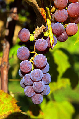 Photograph - Fruit Of The Vine - Grapes by John Stephens