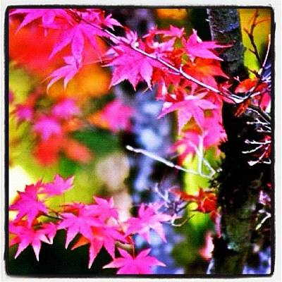 Apple Photograph - Fuchsia And Orange Maple Leaves by Anna Porter