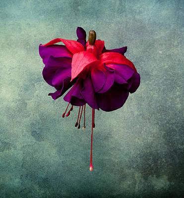 Fuchsia Art Print by Dawn OConnor