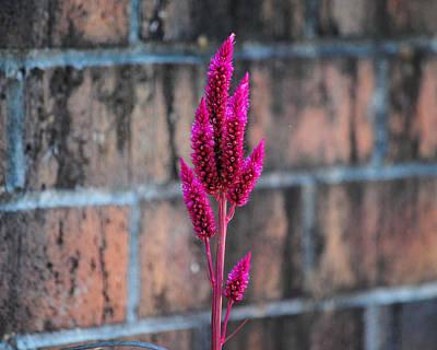 Photograph - Fuchsia Plant I by Jai Johnson