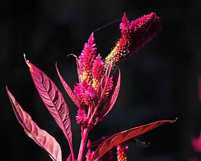 Photograph - Fuchsia Plant II by Jai Johnson