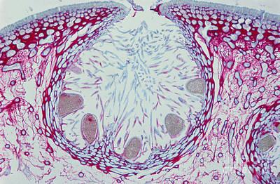 Fucus Sp. Algae, Lm Art Print by M. I. Walker