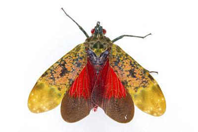 Fulgorid Planthopper Costa Rica Art Print by Piotr Naskrecki