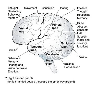 Functional Art Photograph - Functional Areas Of The Brain, Artwork by Peter Gardiner