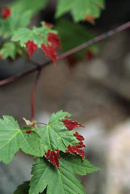 Stein Photograph - Fungus On Maple Leaf by Alan Sirulnikoff