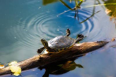 Cooter Photograph - Funny Turtle Catching Some Rays by Rich Leighton