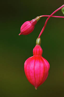 Fuschia Buds Art Print