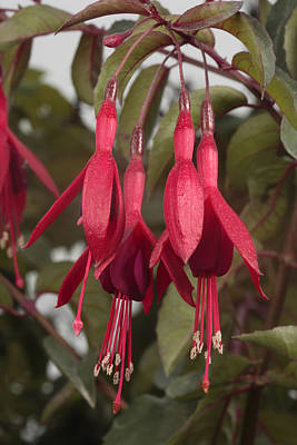 Fuschia Flower Art Print by George Grall