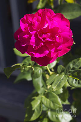 Floral Photograph - Fuschia Rose by Donna Munro