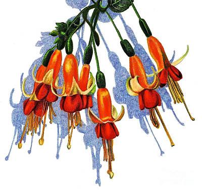 Fuschias Art Print