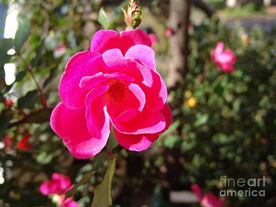 Photograph - Fushia Knockout Rose 3 by Rod Ismay