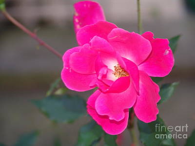 Photograph - Fushia Knockout Rose by Rod Ismay