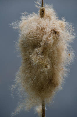 Photograph - Fuzzy Cattail by Tikvah's Hope