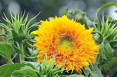 Fuzzy Sunflower Art Print