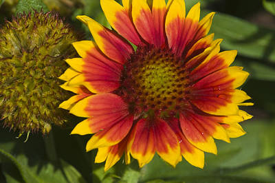 Art Print featuring the photograph Gaillardia by Rob Hemphill