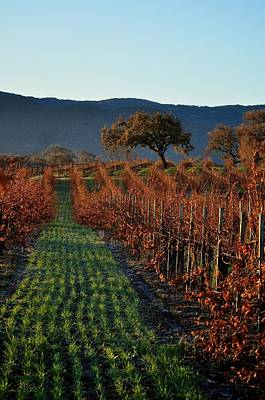 Photograph - Gainey Vinyards by Matt MacMillan