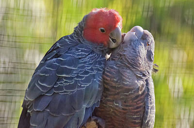Photograph - Galah Cockatoos by Harry Strharsky