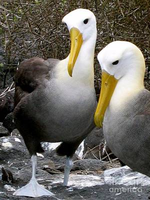 Photograph - Galapagos Albatross by Eva Kaufman