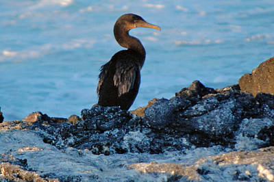 Photograph - Galapagos Cormorant by Harvey Barrison