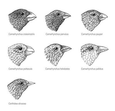 Galapagos Finches, Artwork Art Print by Gary Hincks