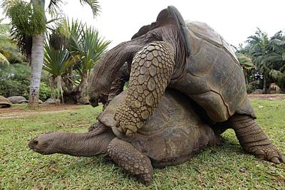 Long-lived Photograph - Galapagos Giant Tortoises Mating by Ria Novosti