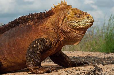 Land Iguana Photograph - Galapagos Land Iguana Conolophus by Pete Oxford