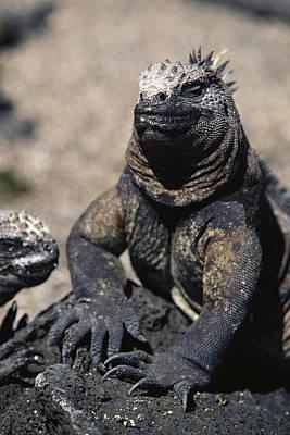 Land Iguana Photograph - Galapagos Land Iguana by Steve Winter