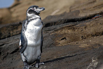 Photograph - Galapagos Penguin by Harvey Barrison