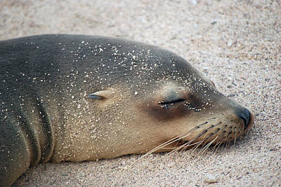 Photograph - Galapagos Sea Lion by Harvey Barrison
