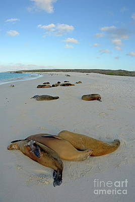 Galapagos Sea Lions Sleeping On Beach Art Print by Sami Sarkis