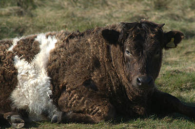 Photograph - Galloway Shetland Cross Cow by Chris Day