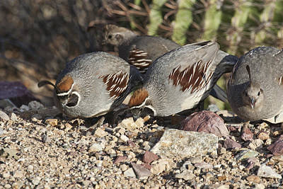 Photograph - Gambels Quail by Gregory Scott
